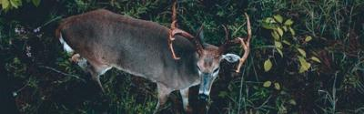 How Well Do Deer Hear?